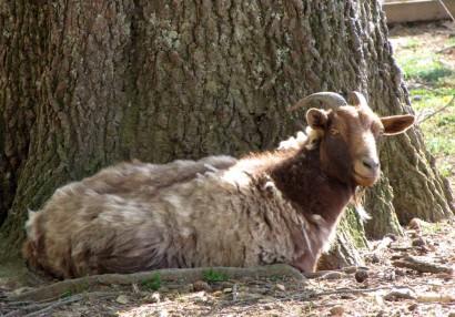 Goat shedding cashmere.