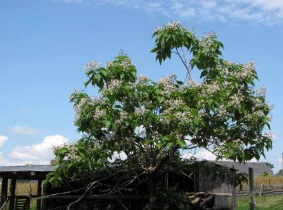 Booming Catalpa tree