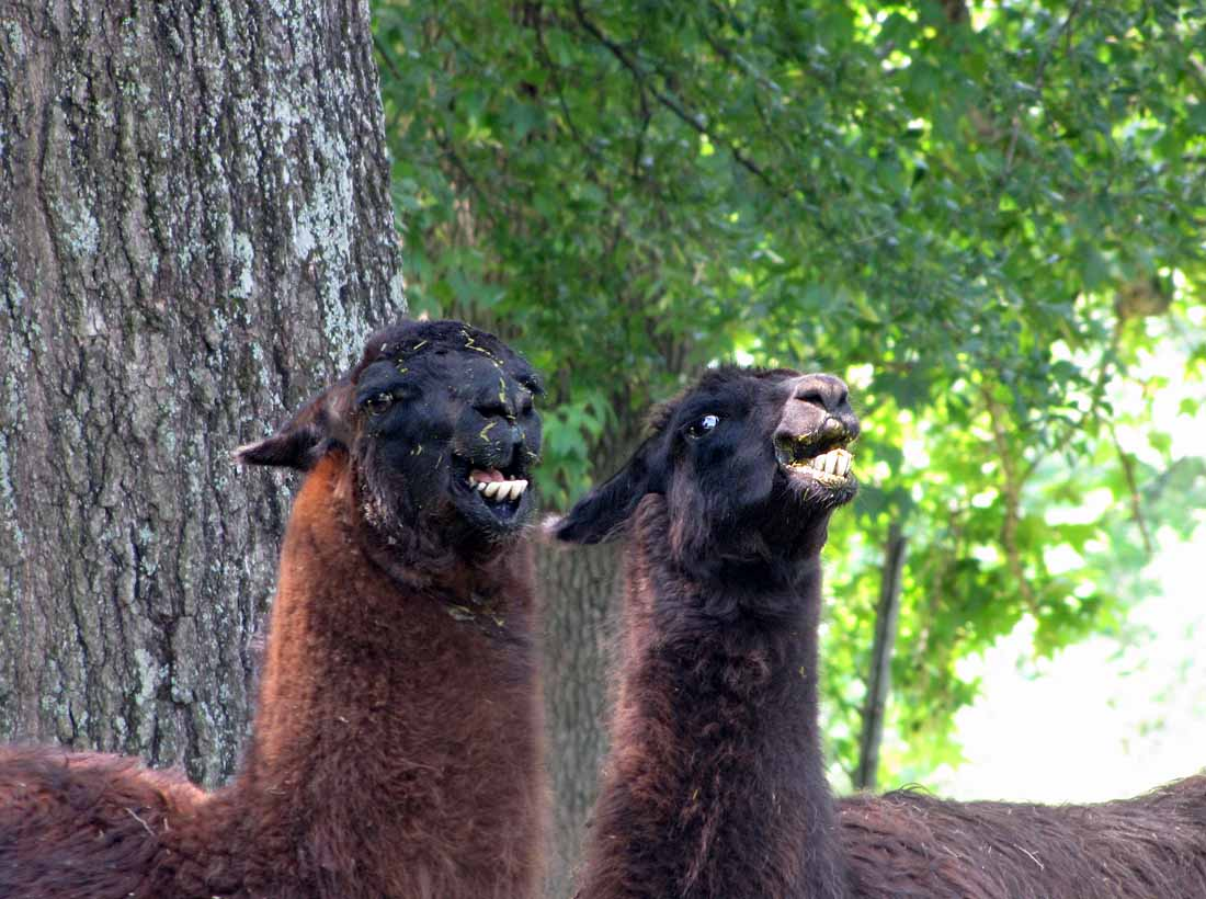 Llama Fight on You Dont Care Enough