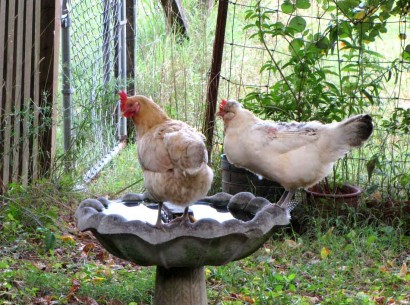 chickens on birdbath