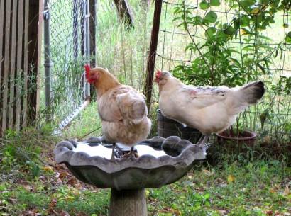 chickens on birdbath