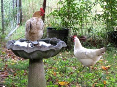 2 chicken hens