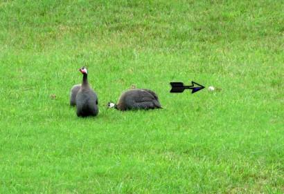 Guinea fowl.