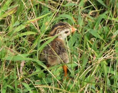 baby guinea keet