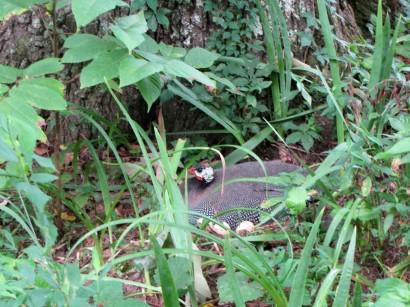 Guinea nesting in weeds.