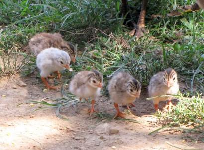 baby guinea birds