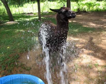 llama getting wet