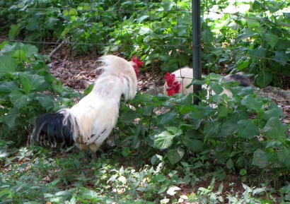 2 roosters fight