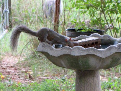 squirrel on birdbath