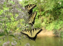 yellow and black butterflies