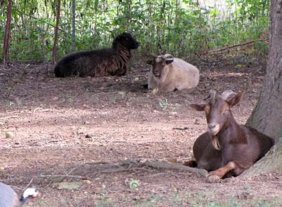 goat and Shetland sheep