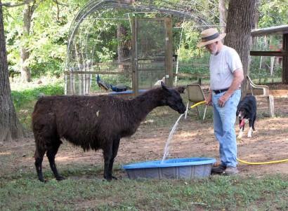 black llama drinking water