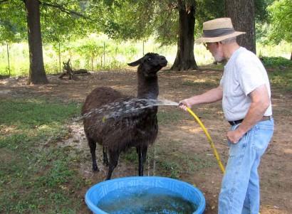 black lama
