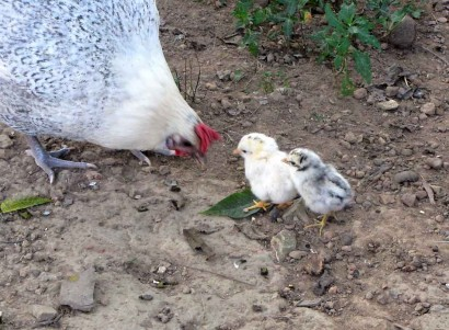 mother chicken with 2 baby chickens