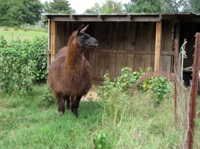 boy llama