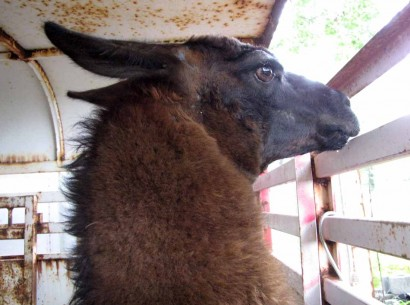 head of boy llama
