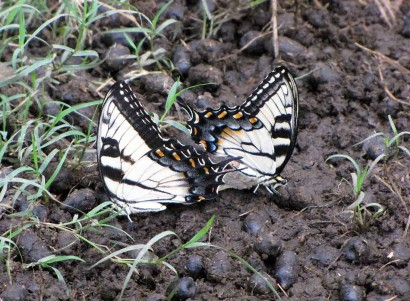 2 yellow and black butterflies