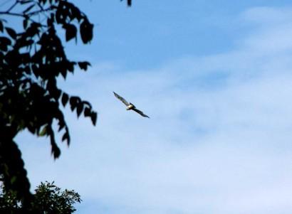 hawk in sky