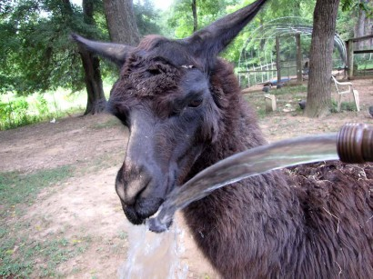 llama and water hose