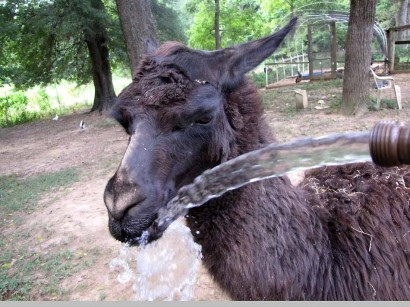 llama with water splashing on nose
