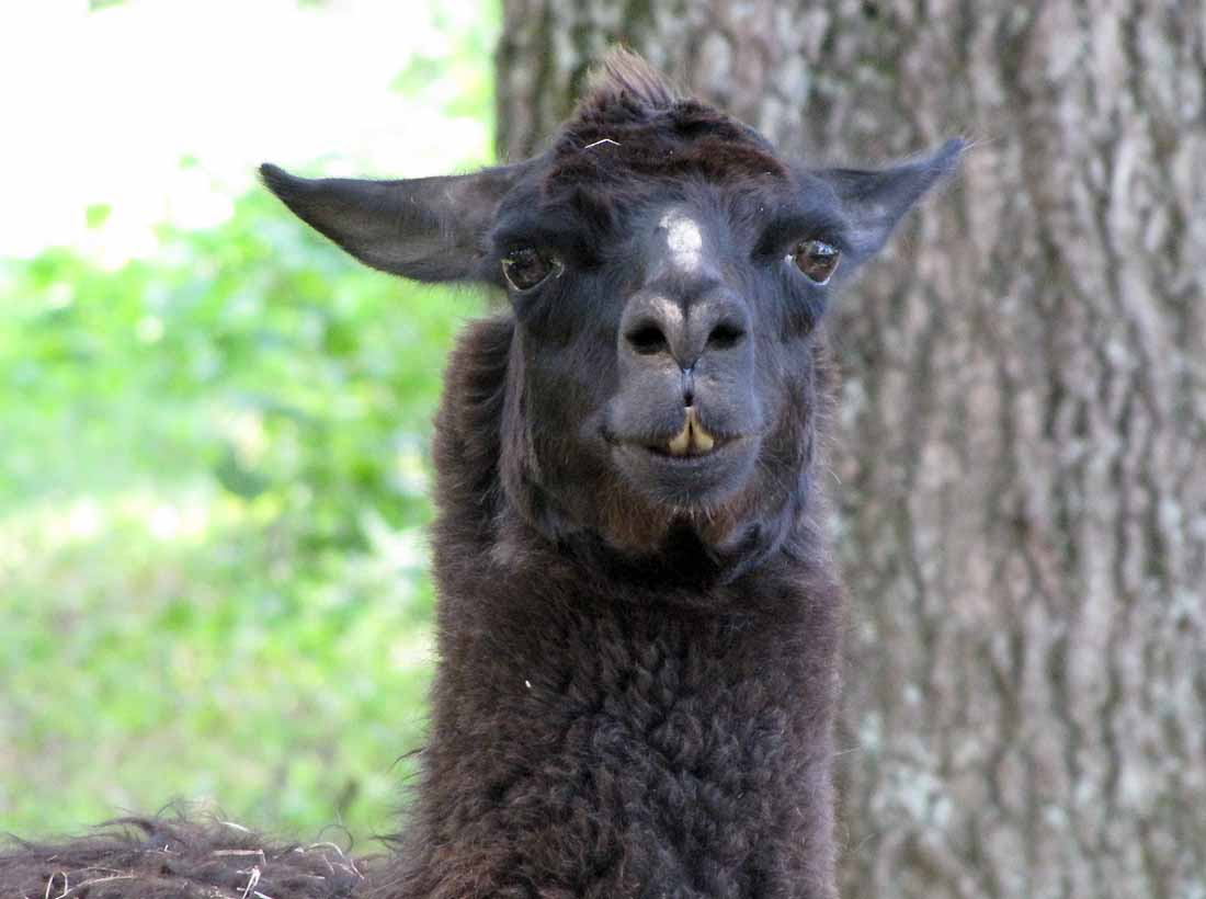 Llamas Making Funny Faces Out of the woods. . . ...