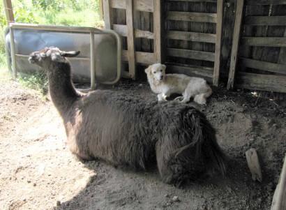 llama kushed, dog beside her