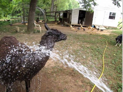 llama getting a shower