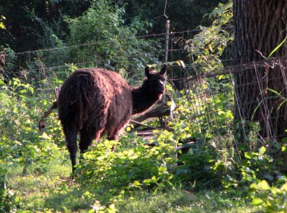 black llama