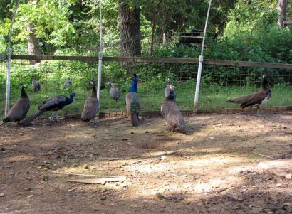 peacocks and peahens in aviary
