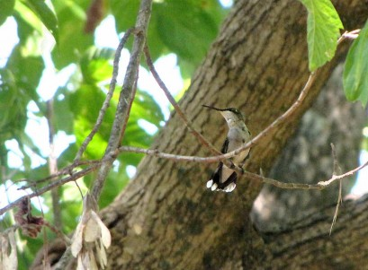 photo of hummingbird in tree