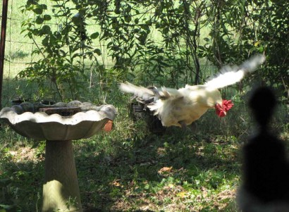 photo of rooster flying