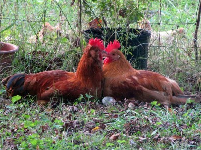 2 red rooster chickens