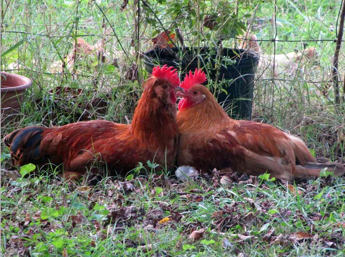 chicken rooster hen rural ramblings