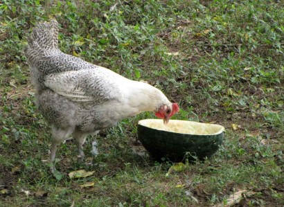 photo of chicken eating watermelon