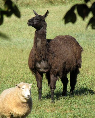 photo of llama