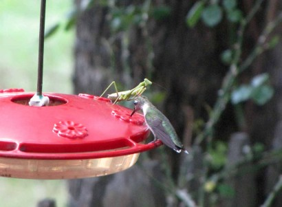 picture of hummingbird and preying mantis