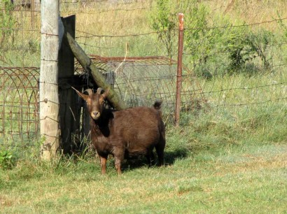 photo of red doe goat