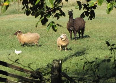 photo of 2 sheep and 1 llama