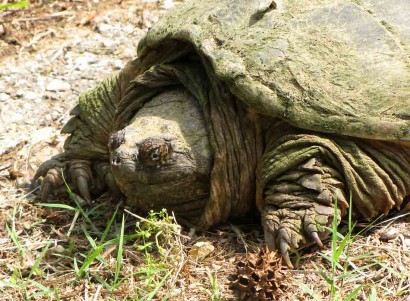 picture of snapping turtle head