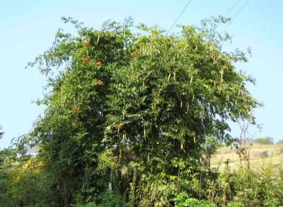 photo of trumpet vine growing up wire