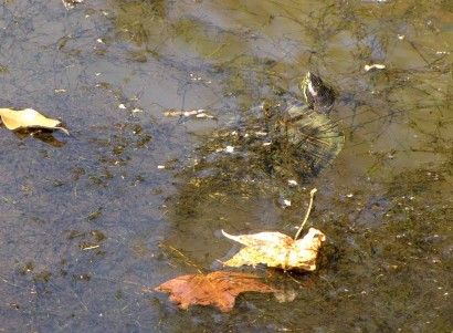 photo of small snapping turtle