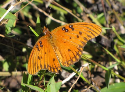 picture of Gulf Fritillary butterfly