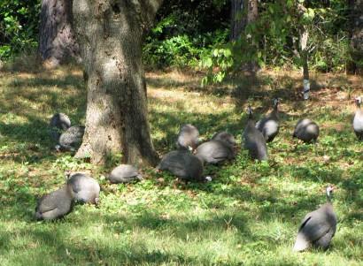 picture of guinea fowl
