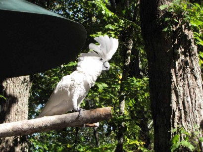 picture of white cockatoo