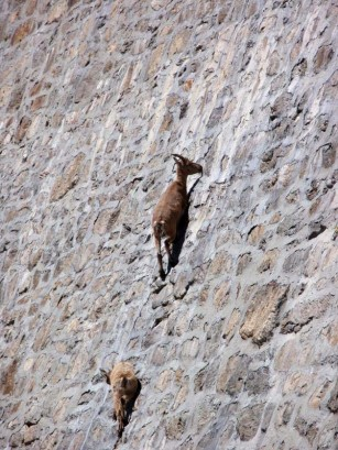 photo of two ibex on side of dam