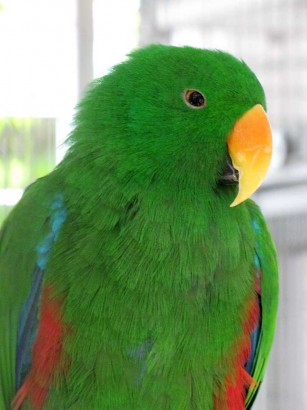 picture of Eclectus Parrot (male)