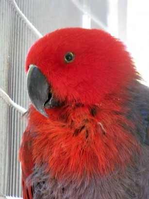 picture of Eclectus parrot (female)