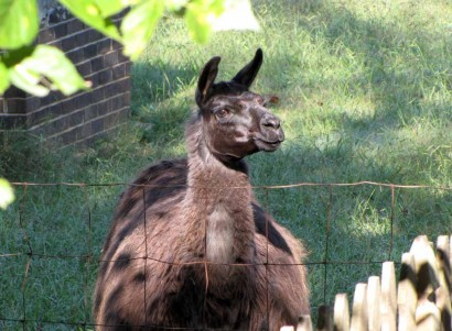 picture of llama