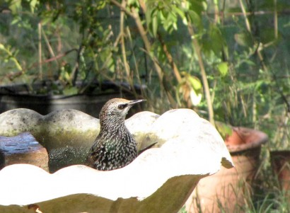 photo of bird in birdbath