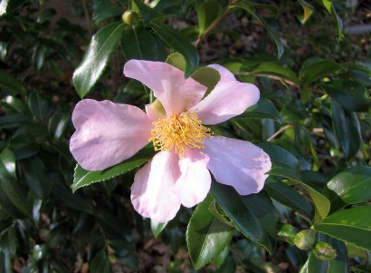 picture of Camellia oleifera Winter's Star